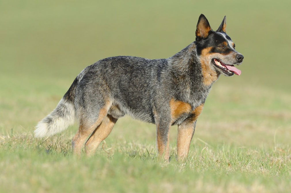 Australian Cattle Dog adult