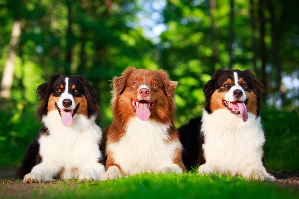 Australian Shepherd adults