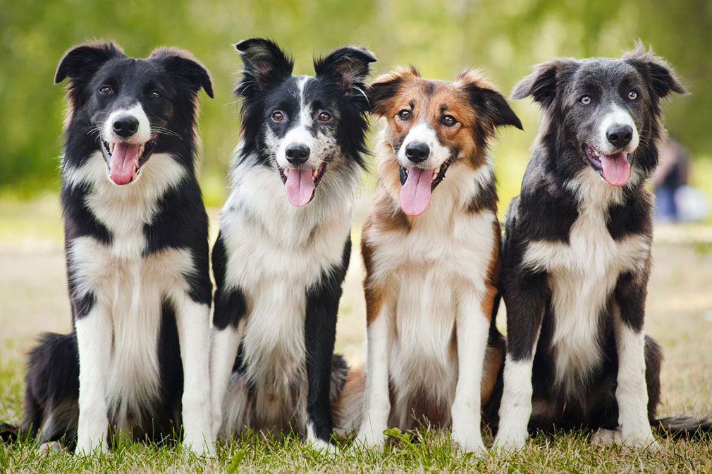 Border Collie adults