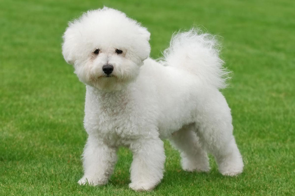 Meet The Bichon Frise