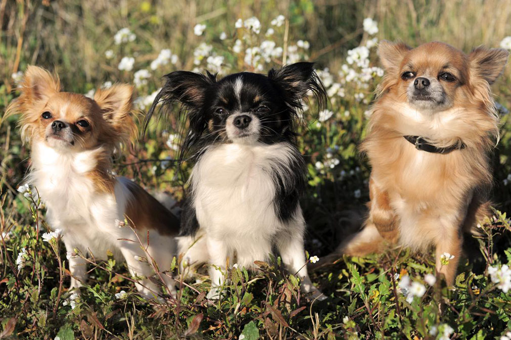 Chihuahua adults
