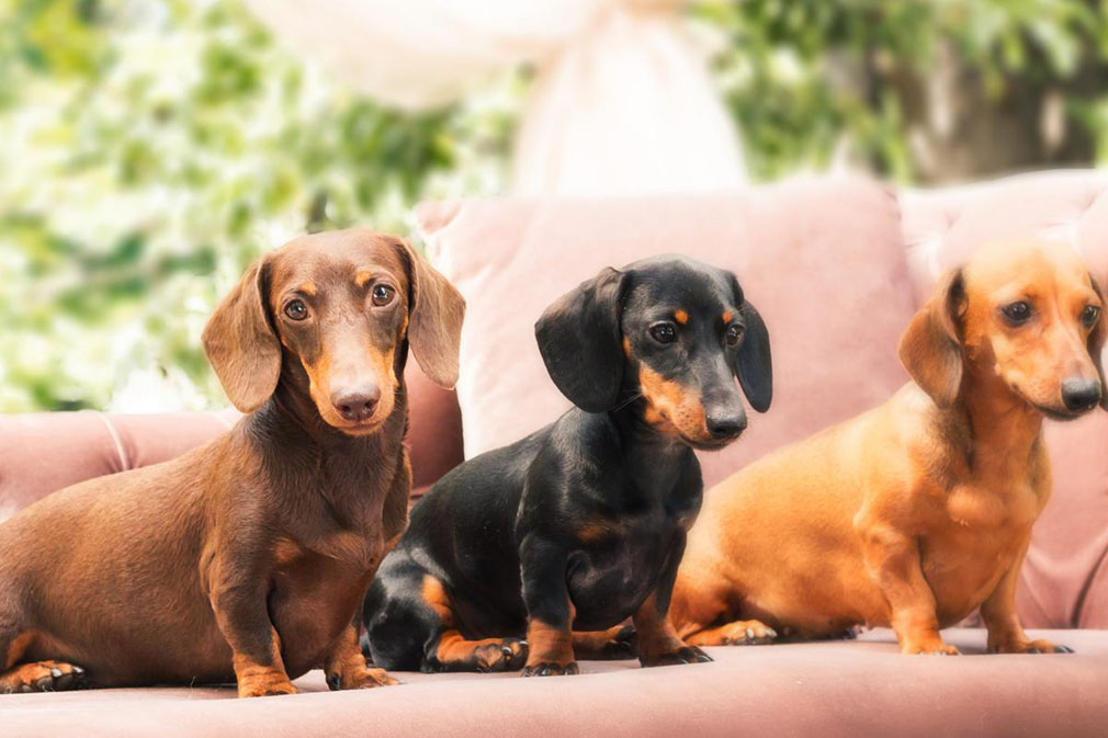 Dachshund (Miniature Smooth Haired) adults