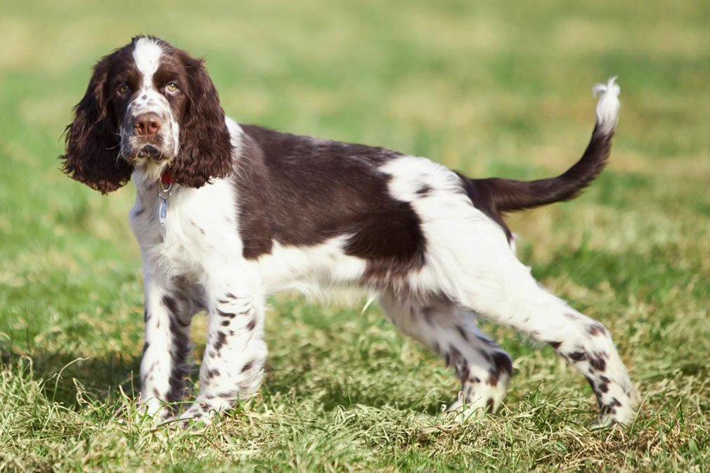 Adult english springer spaniel