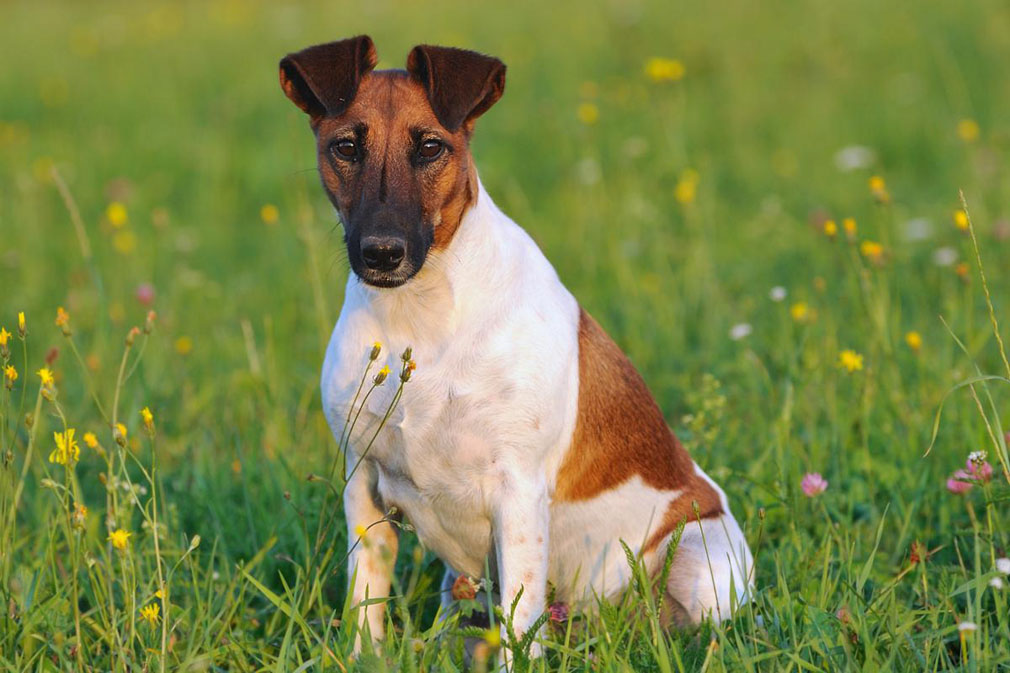 Fox Terrier adult