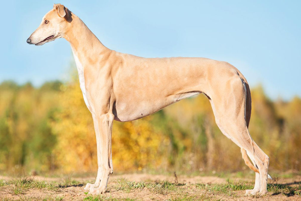 Greyhound adult