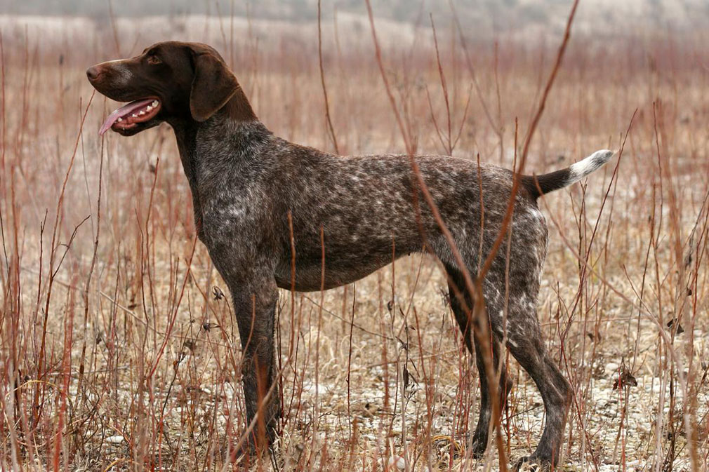 German Shorthaired Pointer adult