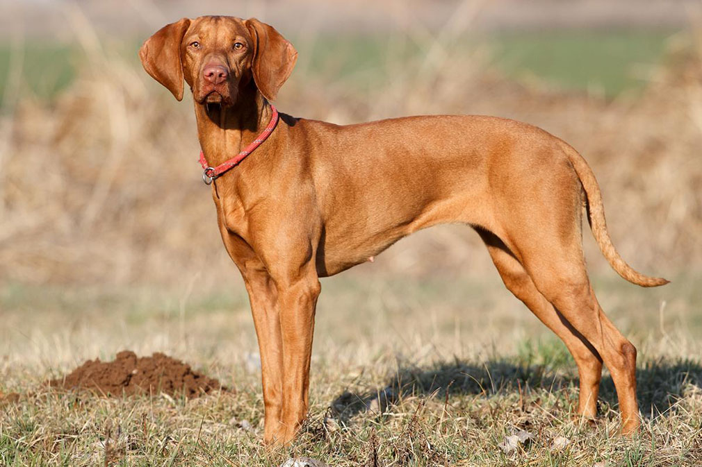 Hungarian Vizsla adult