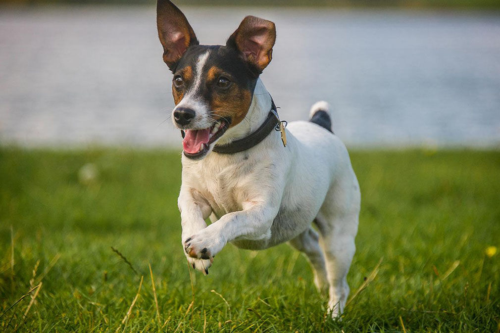 Jack Russell Terrier adult