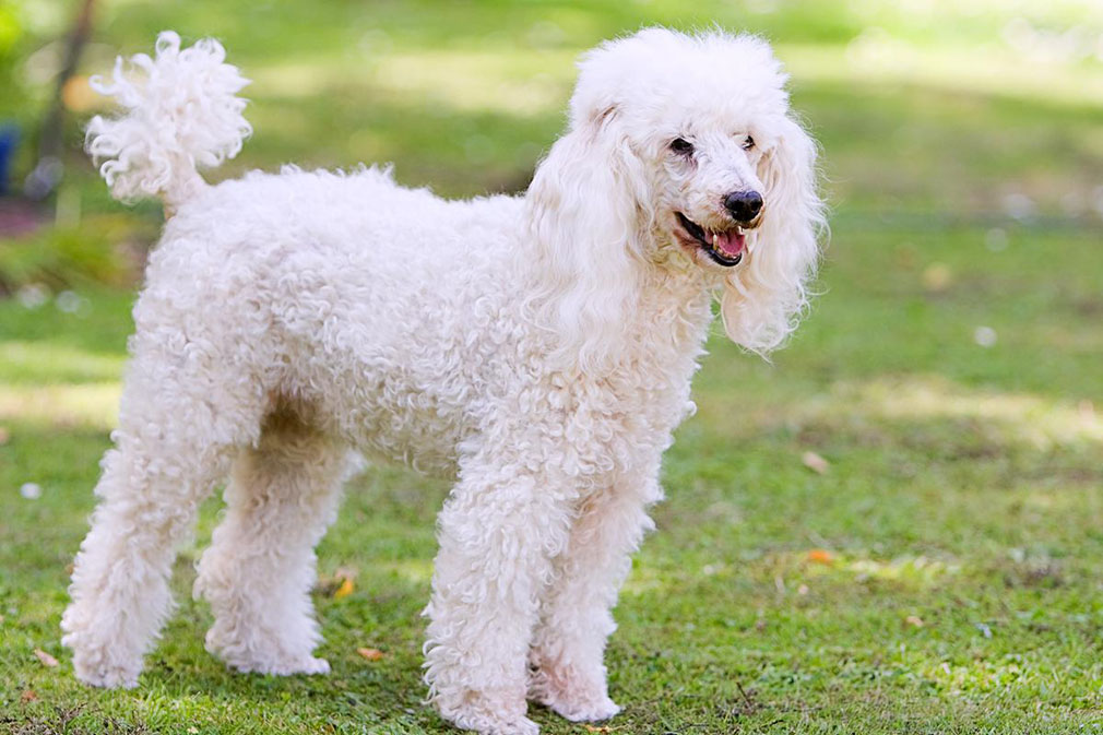 Meet the Poodle (Miniature)!