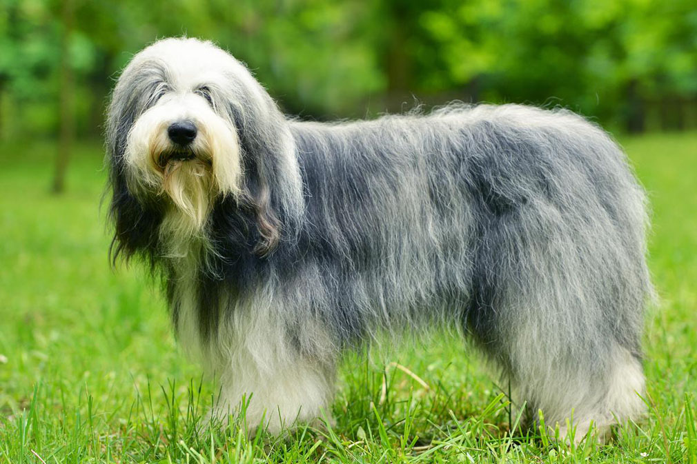 Old English Sheepdog adult