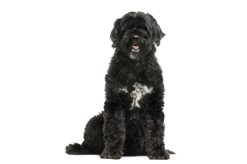 Portugese Water Dog adult