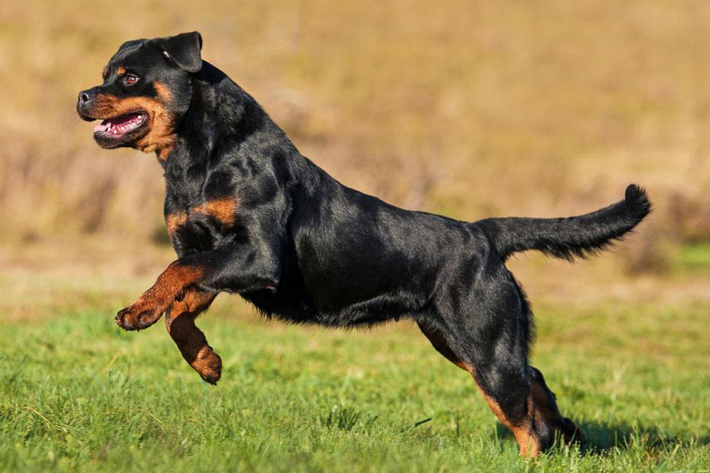 Image result for Rottweiler