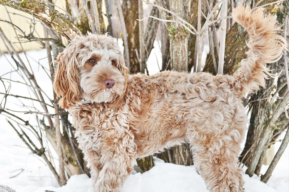 Cockapoo (Spoodle) adult
