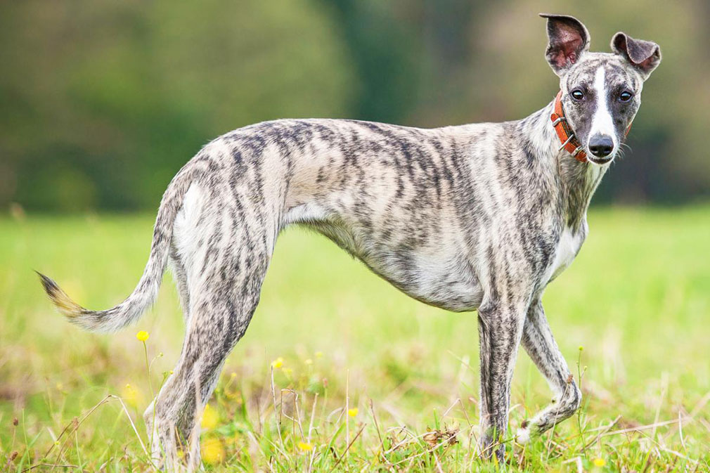 Whippet adult