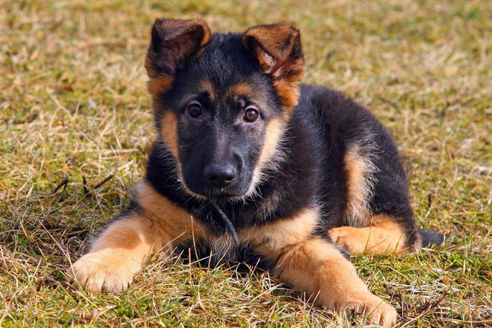 Buy German Shepherd puppy price in Czechia