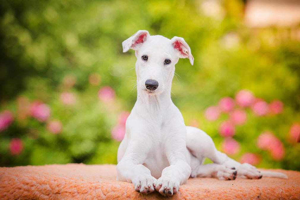 Greyhound puppy