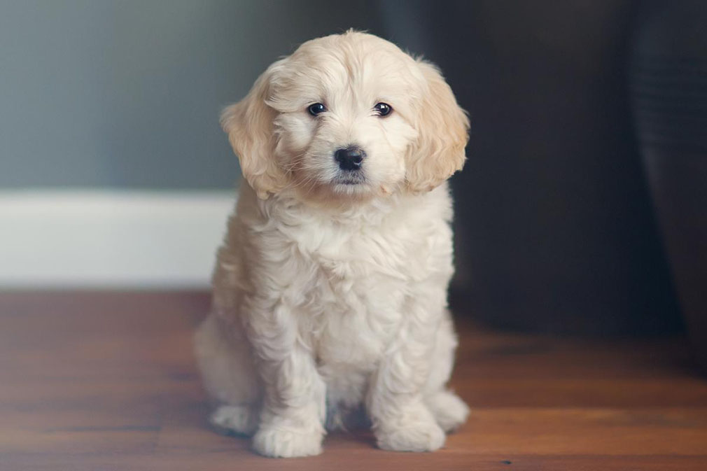 Meet the Groodle (Goldendoodle)!
