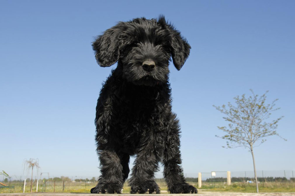 Portugese Water Dog puppy