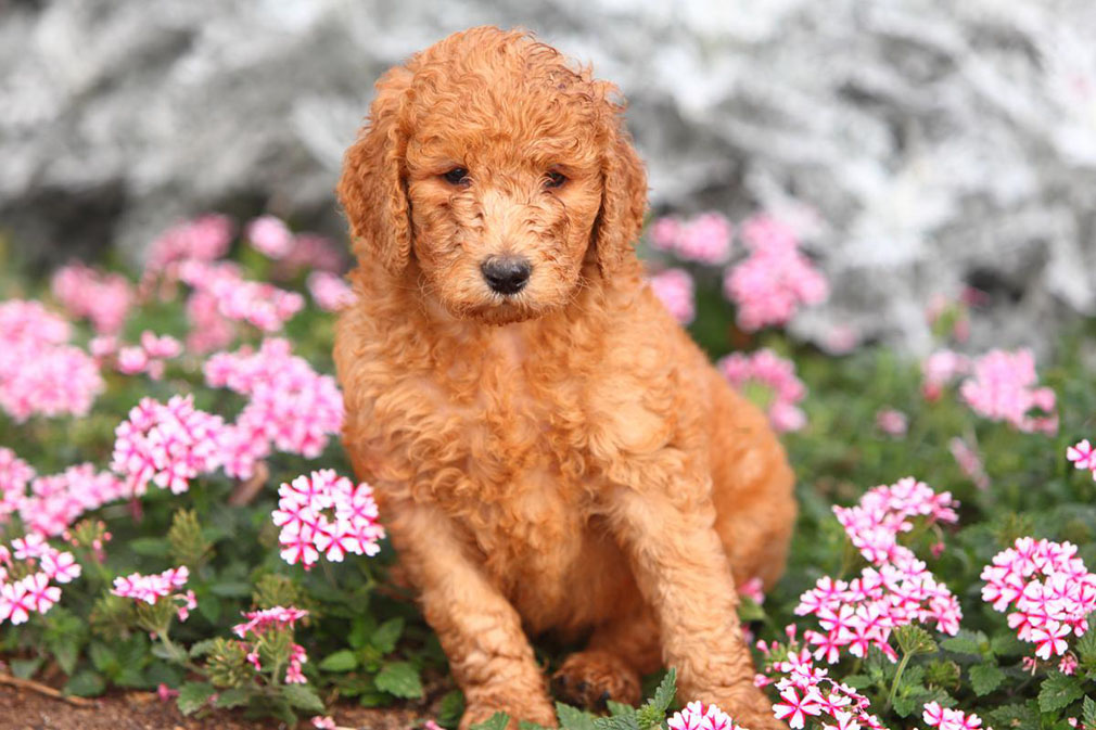 Poodle (Standard) puppy