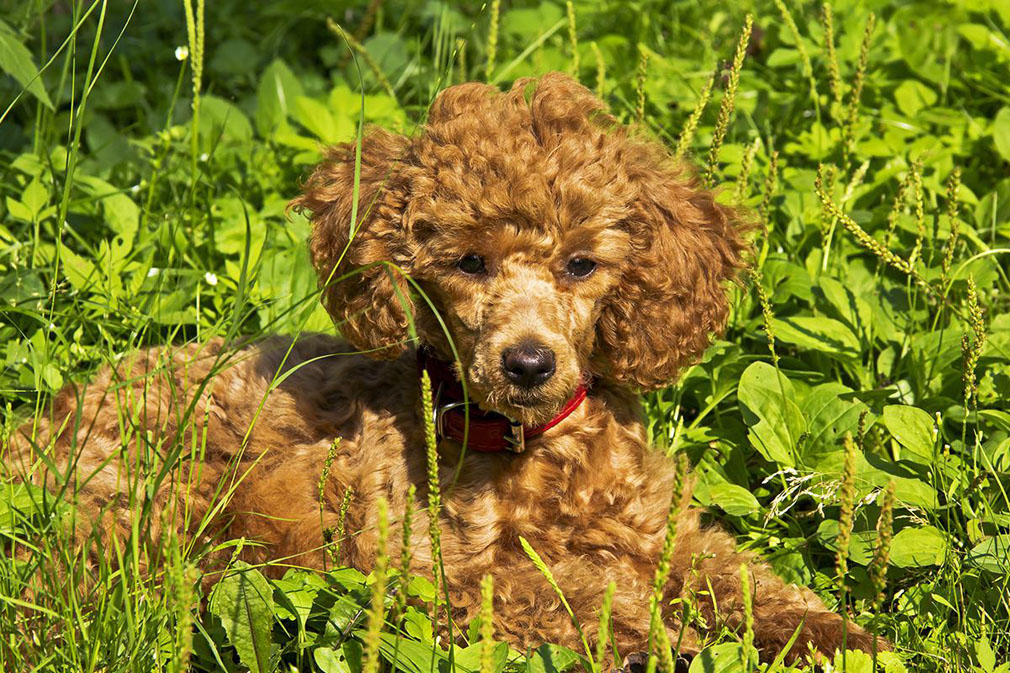 Poodle (Miniature) puppy