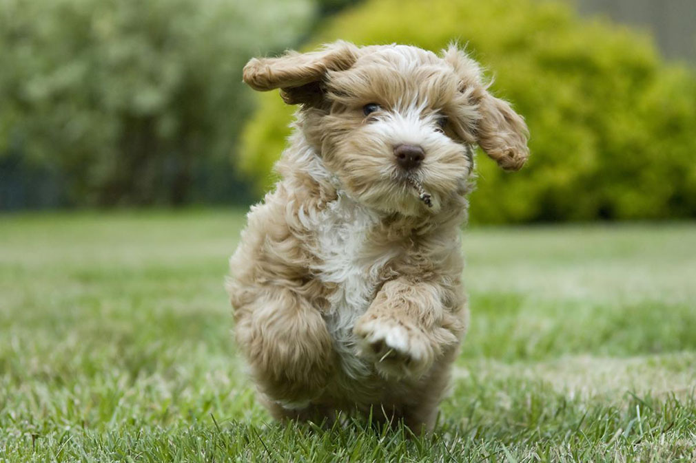 Cockapoo (Spoodle) puppy