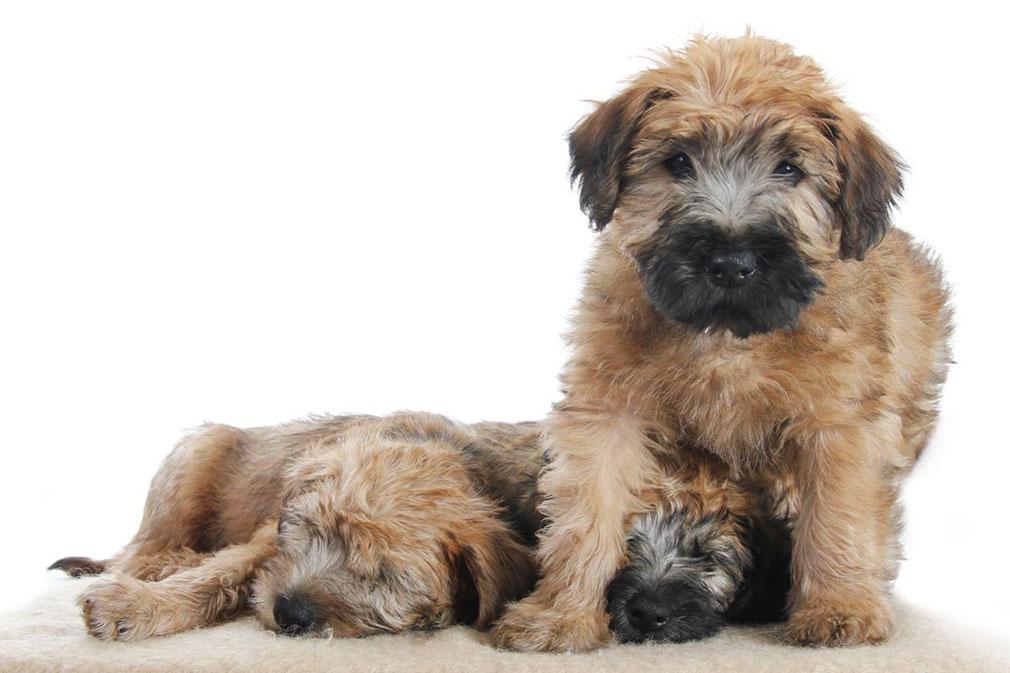 wheaten terrier pictures