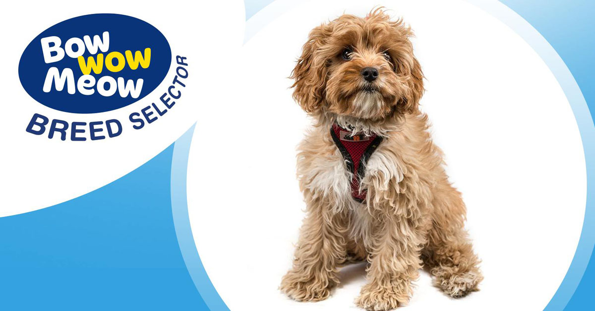 Meet the Cavoodle (Cavapoo)!