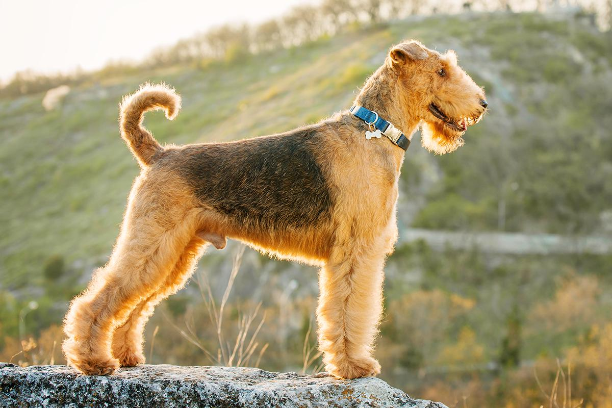 Meet the Airedale Terrier!