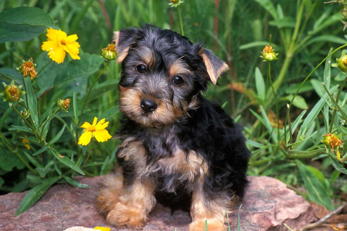 Picture Of Silky Terrier Dog