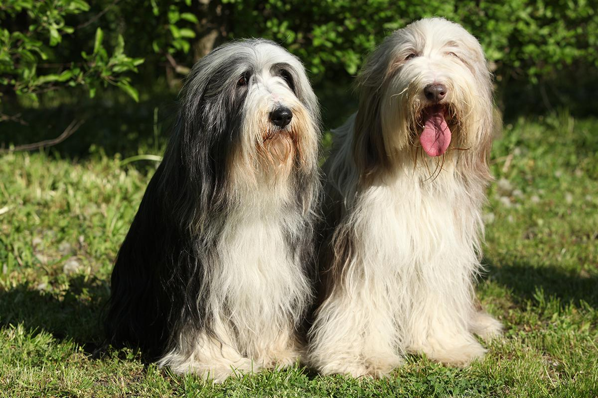 Bearded Collie adults