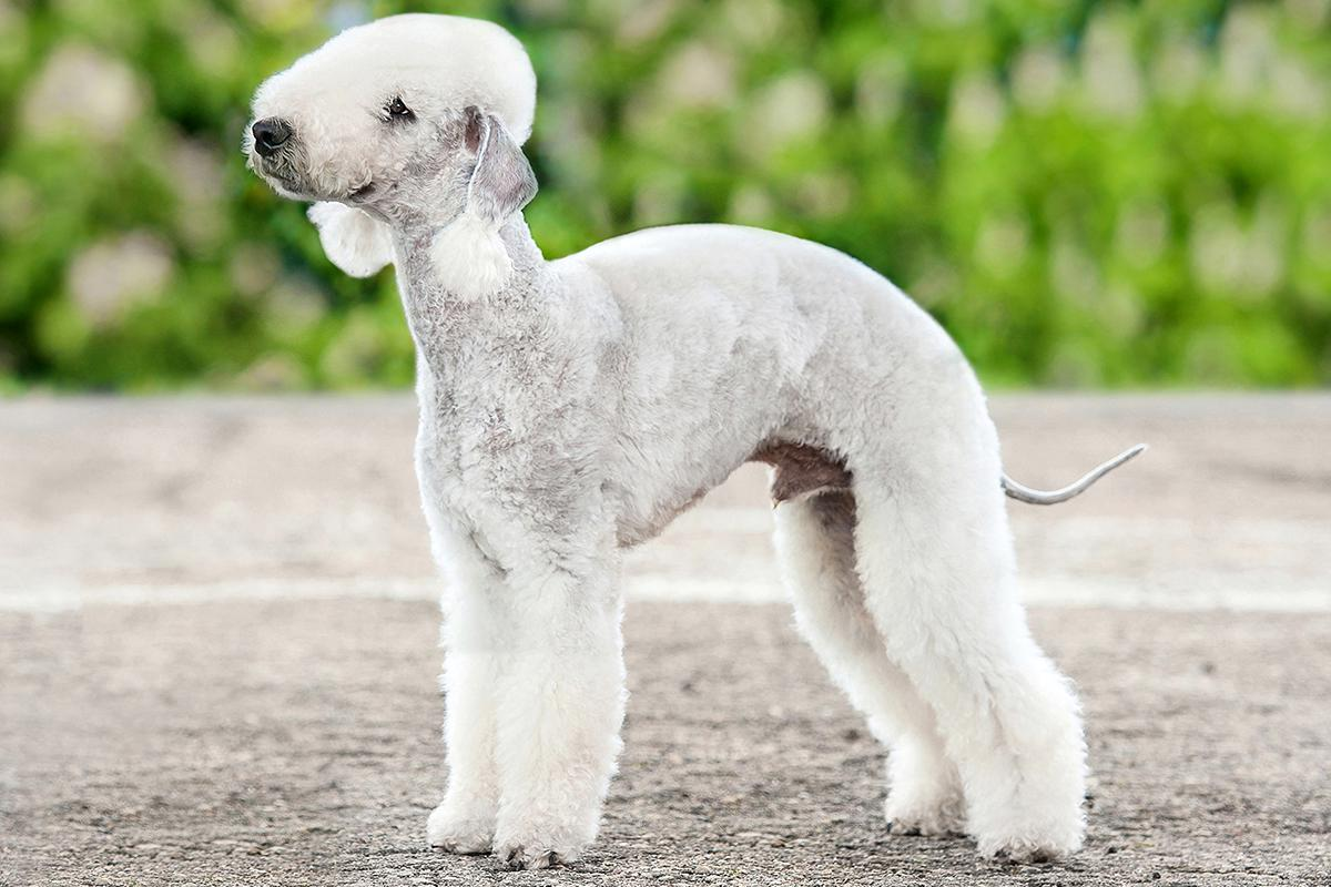 Bedlington Terrier adult