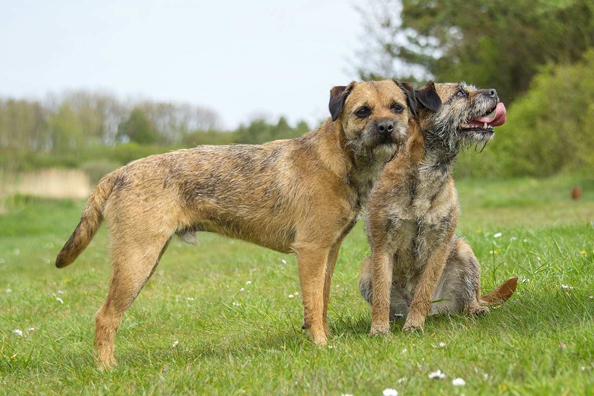 Border Terrier adults