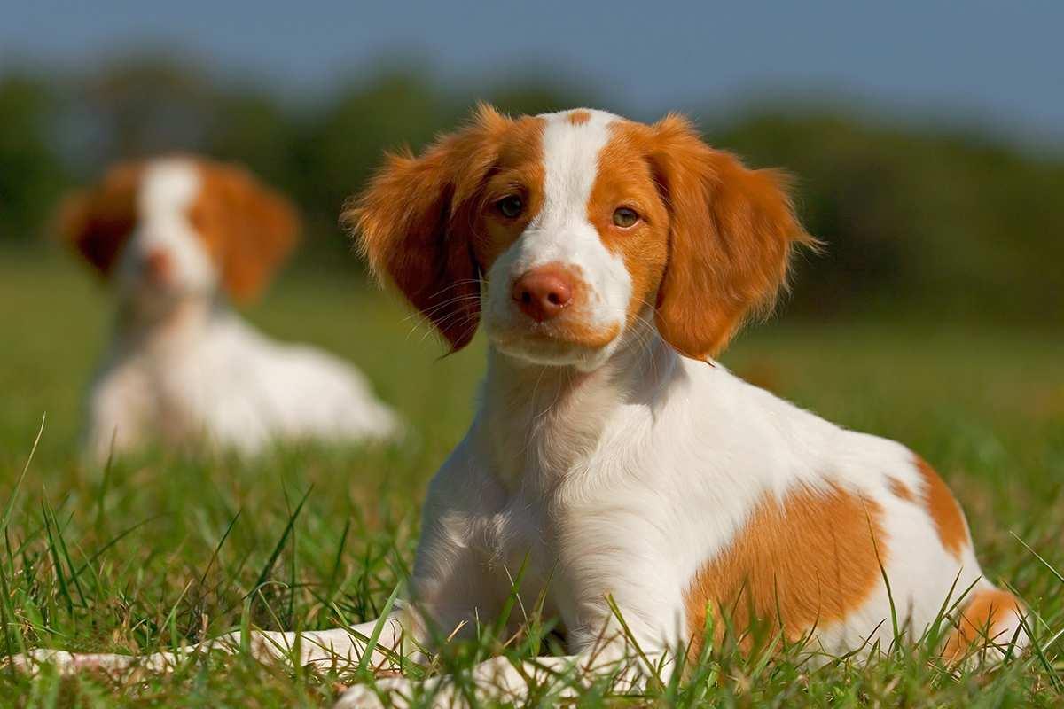 фото собаки породы эпаньоль-дю-ларзак