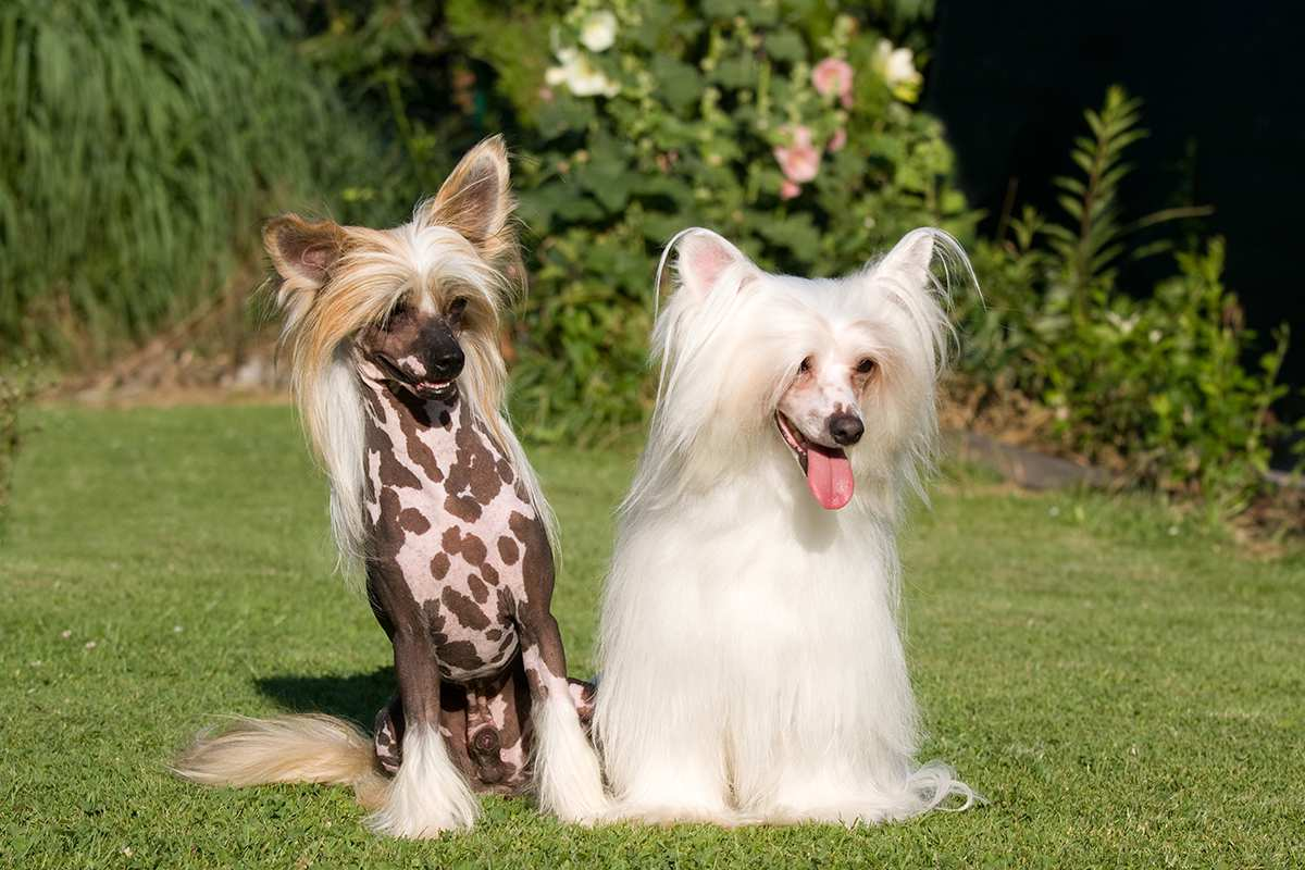 Chinese Crested adults