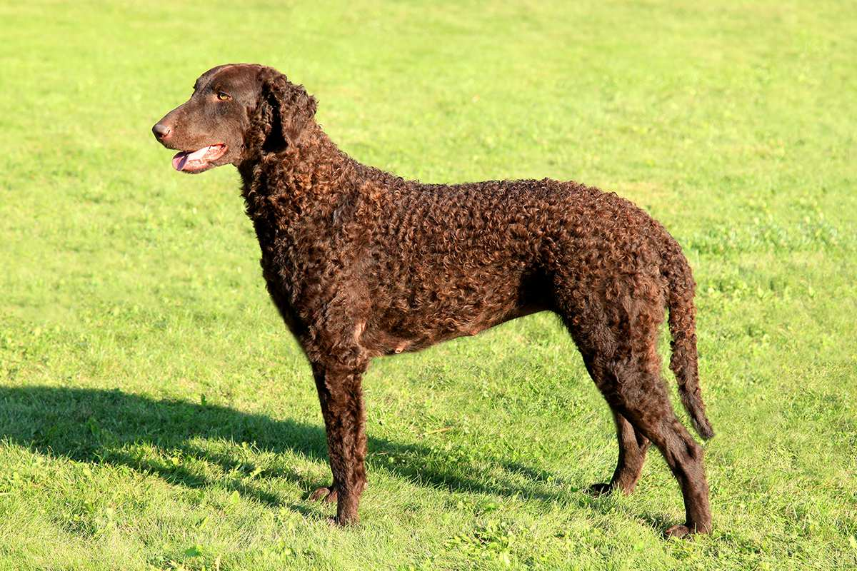 Curly Coated Retriever adult
