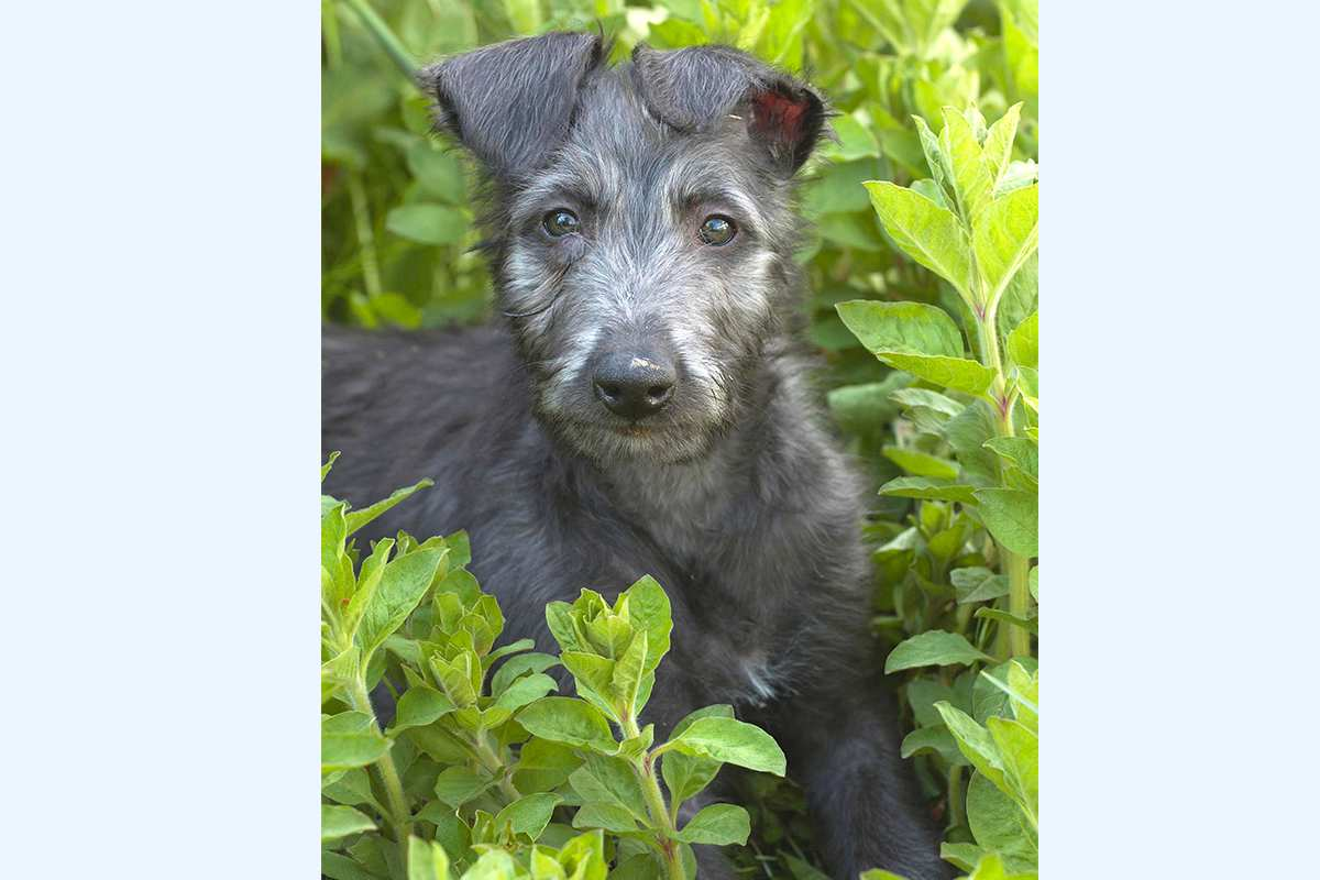 Deerhound puppy