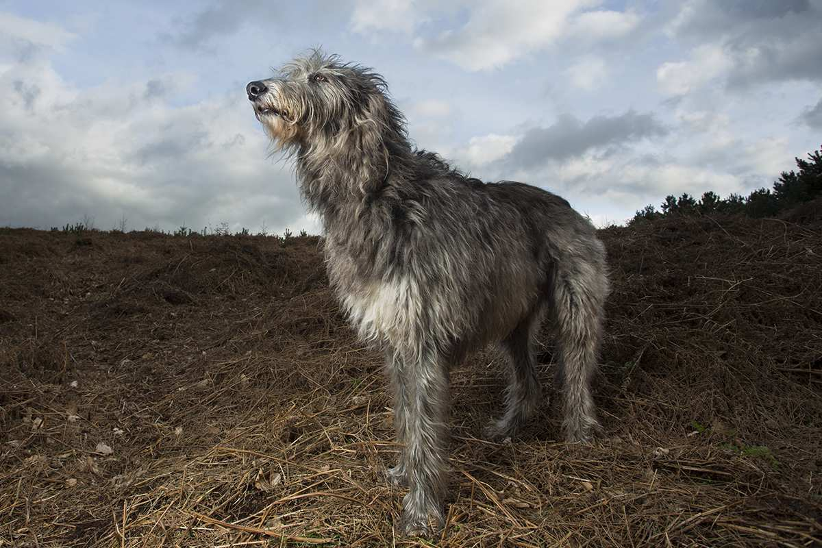 Deerhound adult