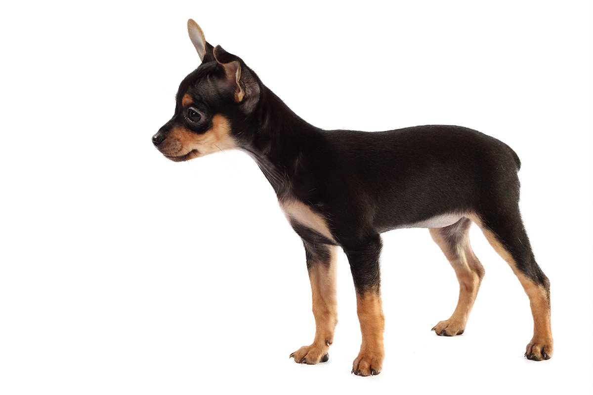 English Toy Terrier (Toy Manchester Terrier) puppy