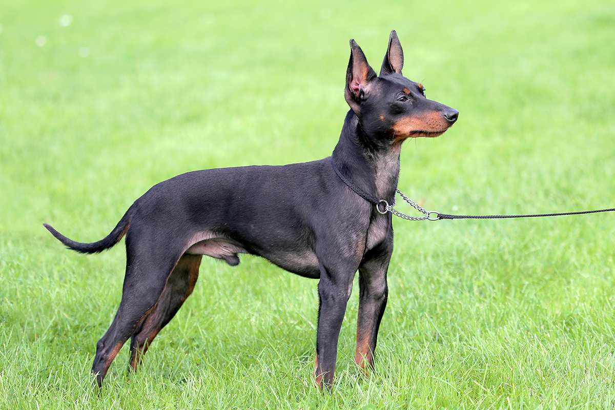 English Toy Terrier (Toy Manchester Terrier) adult