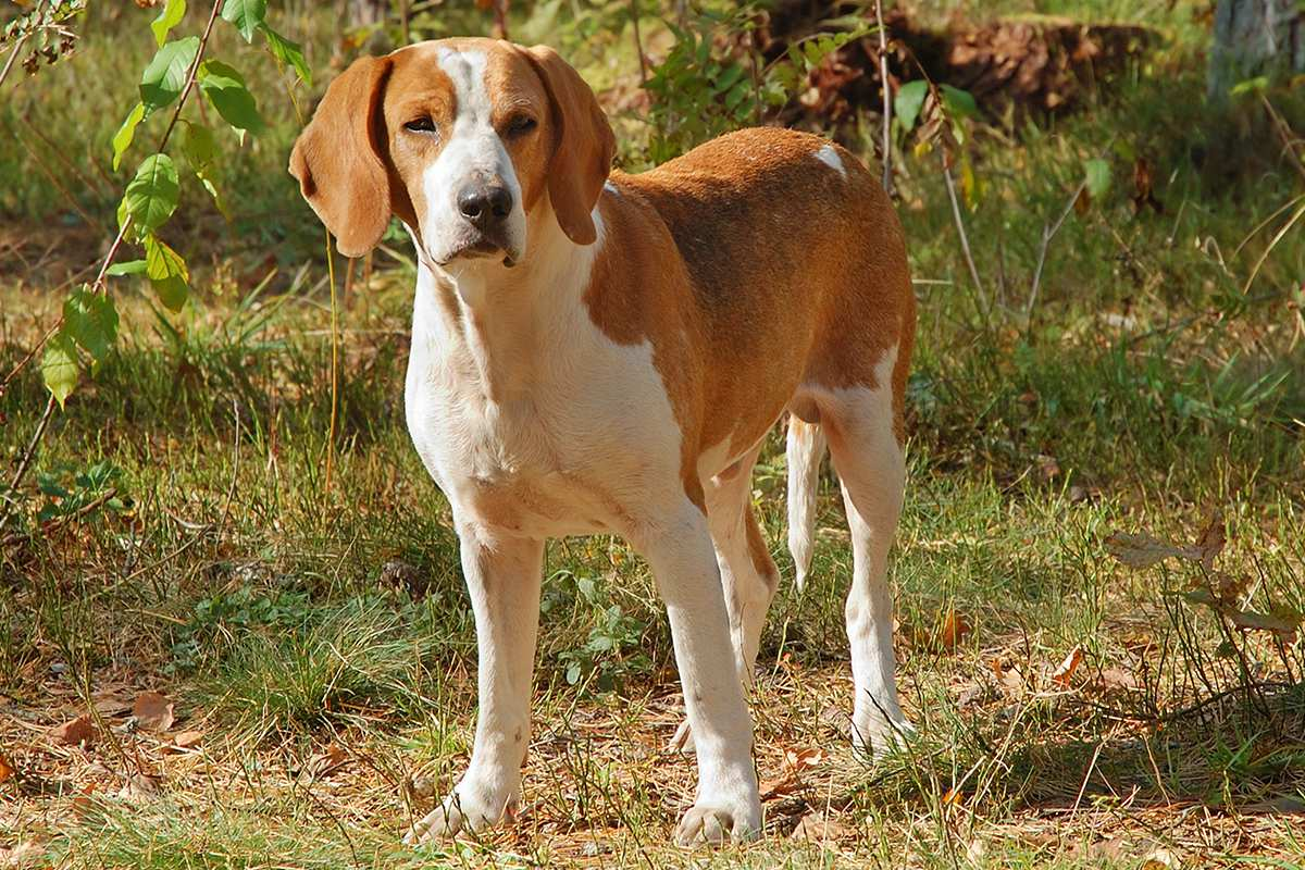 Foxhound (English/ American) adult