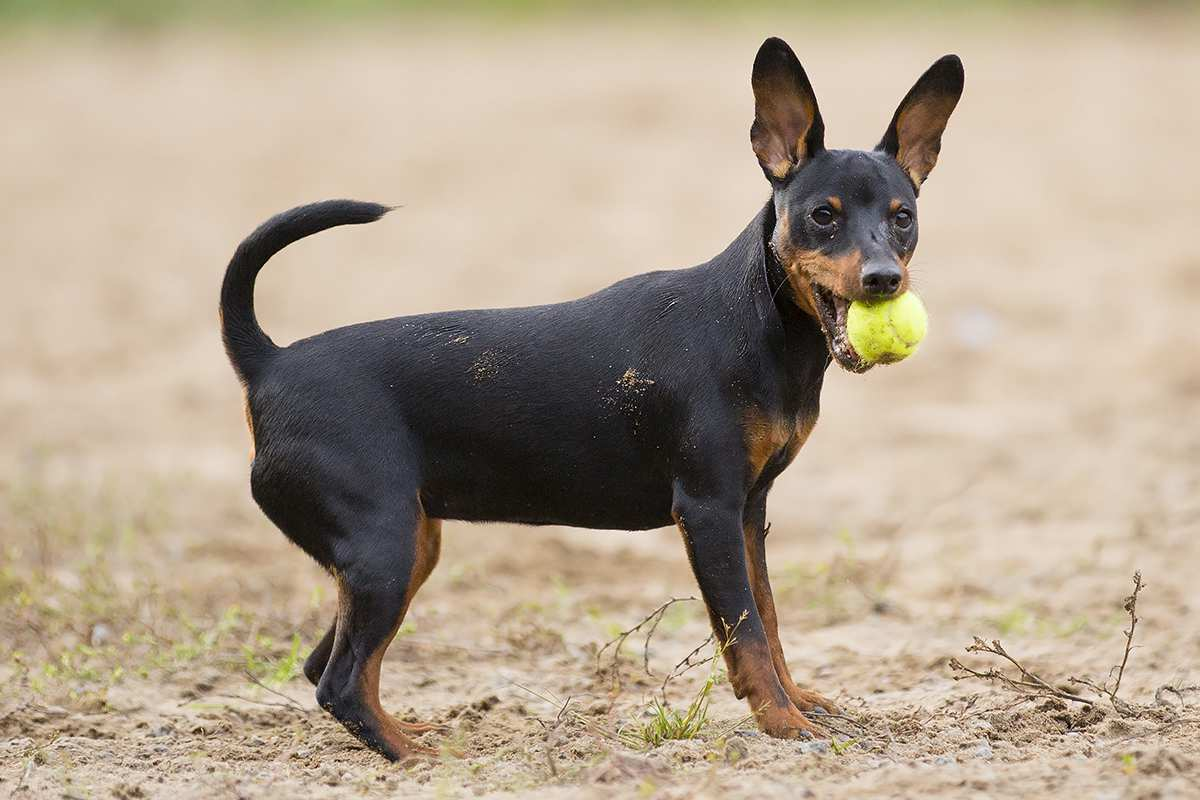Miniature Pinscher adult