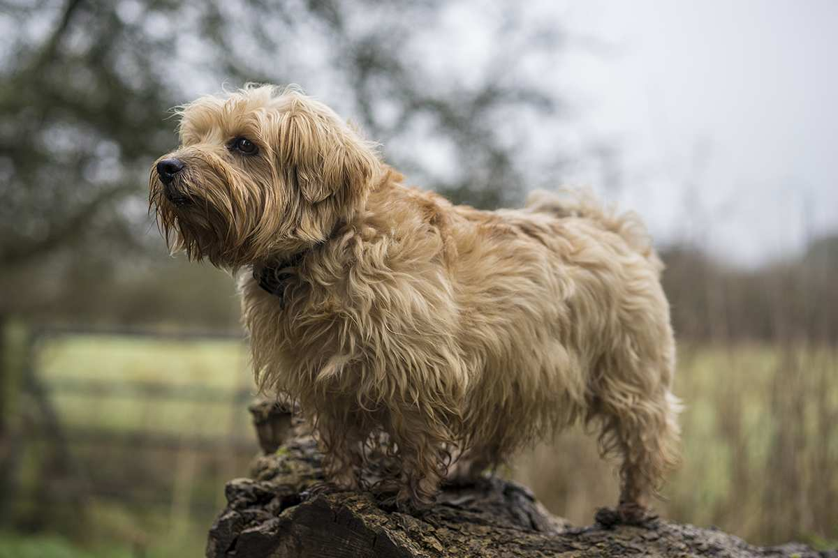 Norfolk Terrier adult