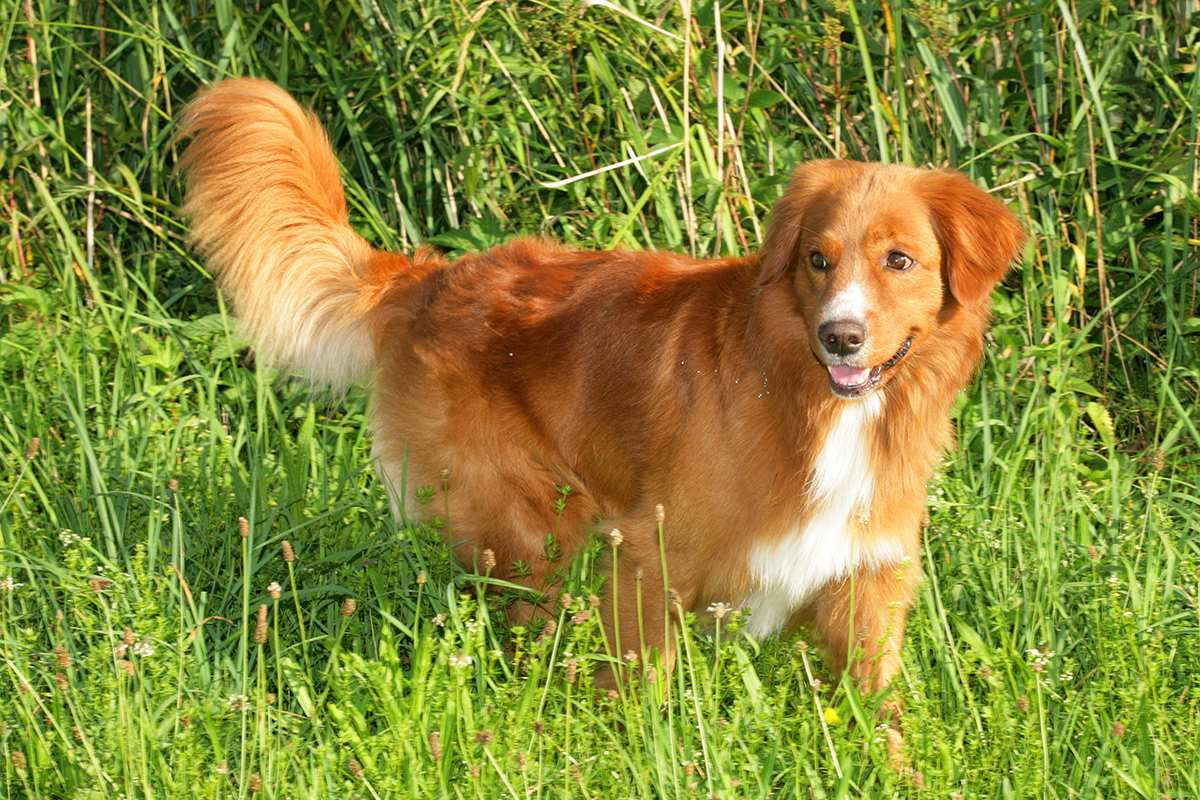 Nova Scotia Duck Tolling Retriever adult