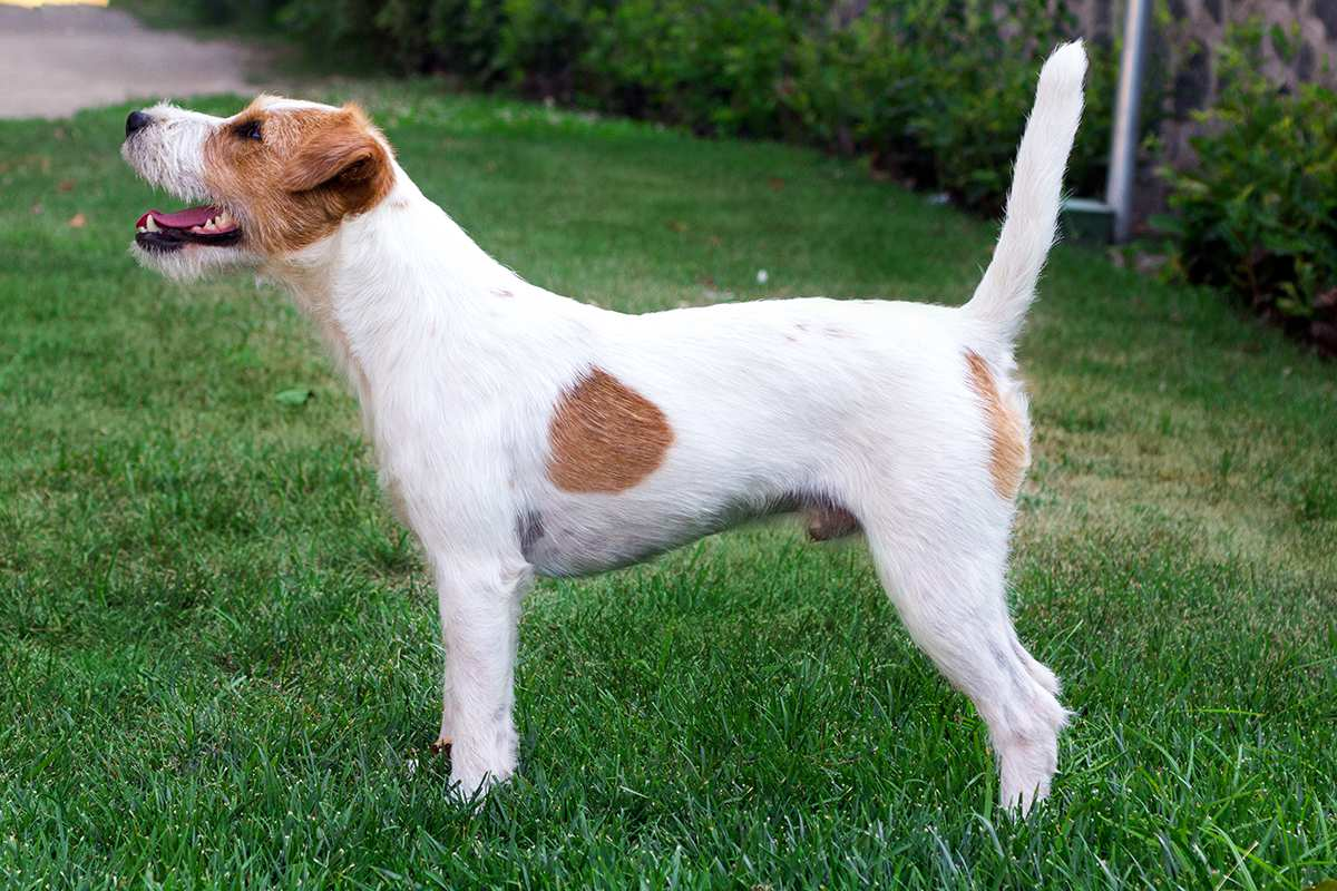 Parson Russell Terrier adult