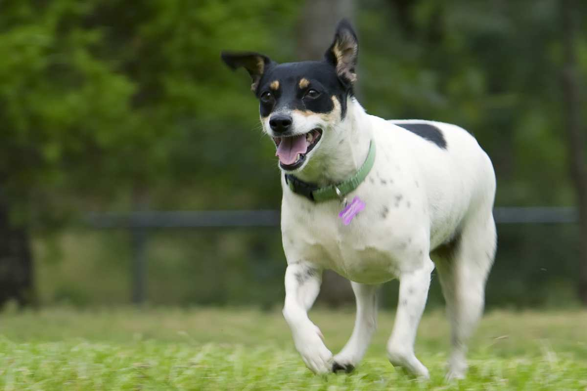Rat Terrier adult