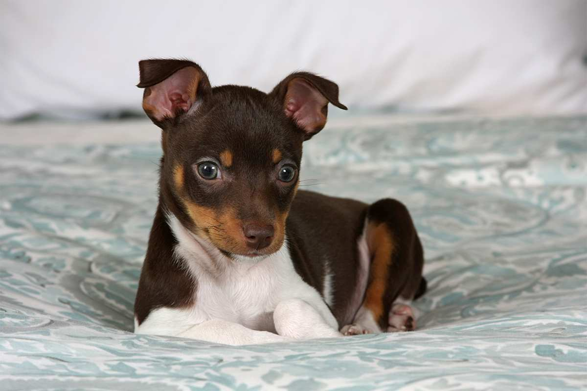 Meet The Rat Terrier