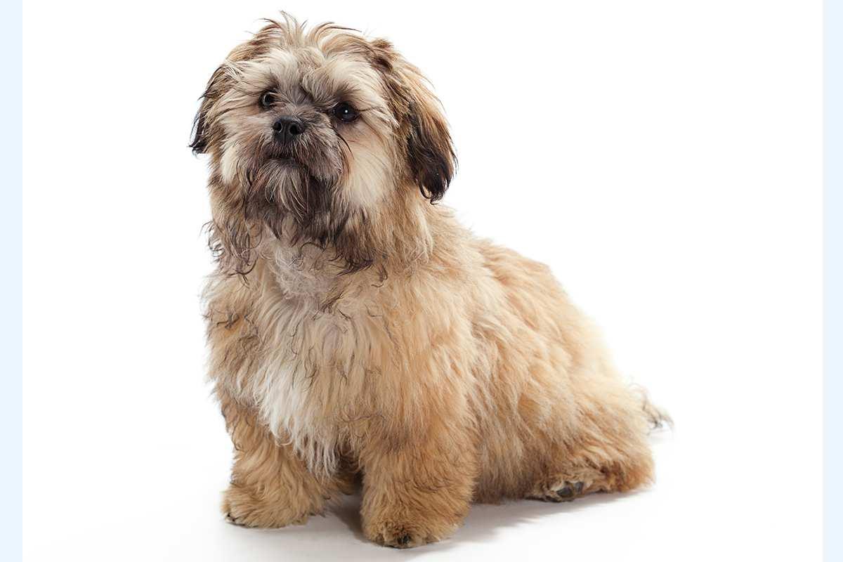 Shih Tzu Cross Breeds Dog