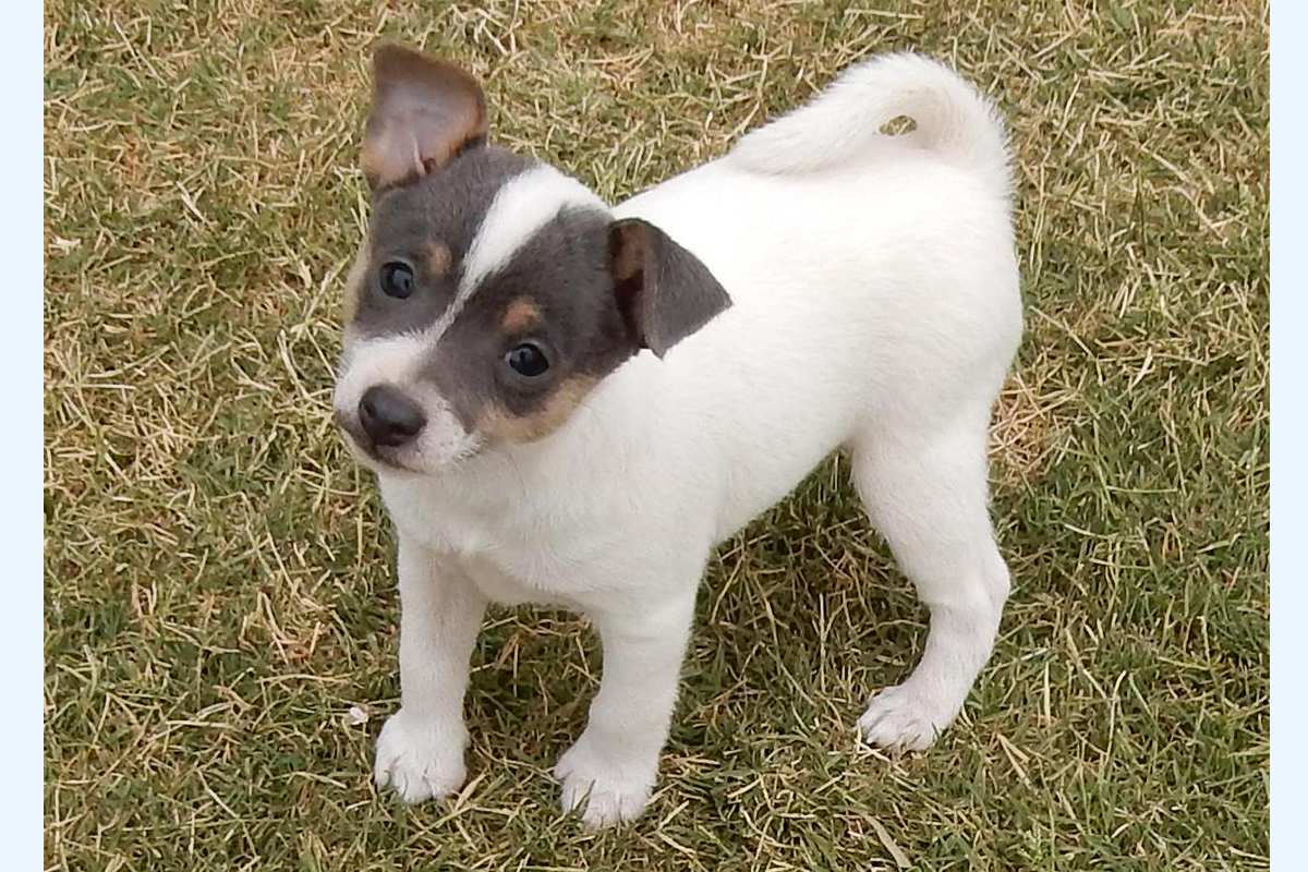 Tenterfield Terrier puppy