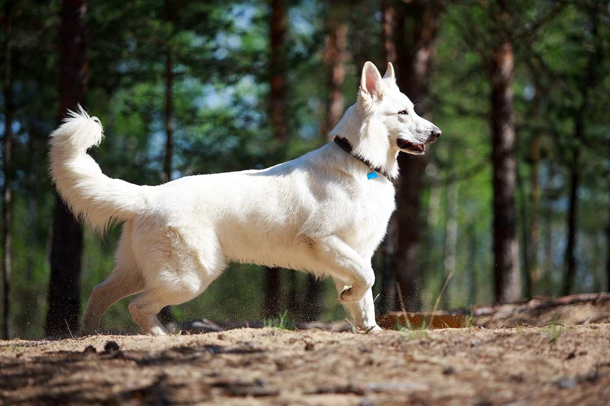 Meet The White Swiss Shepherd
