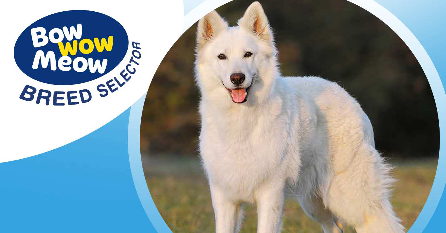 Meet The White Swiss Shepherd